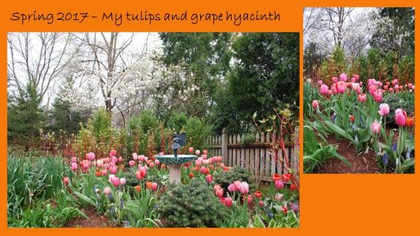dwn tulips slide 4 of 5