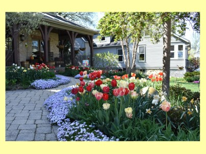 dwn cadas front yd tulips in bloom for blog 5-7-18 pic 1 of 4