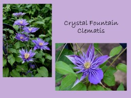 DWN my yd may 2018 crystal fountain clematis