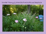 DWN my yd may 2018 peonies and baptisia