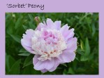 DWN my yd may 2018 pink sorbet peony