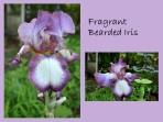 DWN my yd may 2018 purple iris